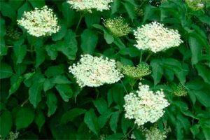 Saúco: Propiedades de la Planta Medicinal