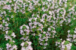 Tomillo: Propiedades de la Planta Medicinal