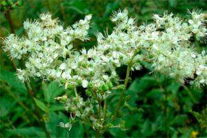 Ulmaria: Propiedades de la Planta Medicinal