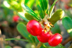Gayuba: Propiedades de la Planta Medicinal