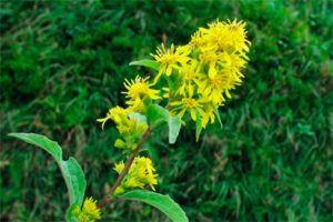 Vara de Oro: Propiedades de la Planta Medicinal