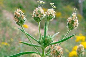 Zaragatona: Propiedades de la Planta Medicinal
