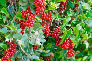 Zarzaparrilla: Propiedades de la Planta Medicinal