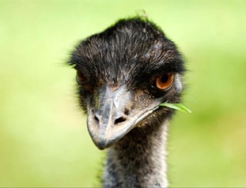 Bálsamo de Emú – Información