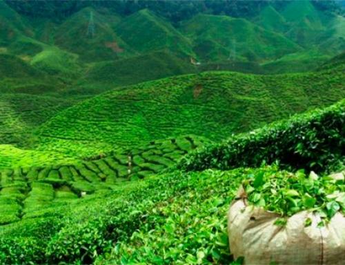 El Té en India – Artículo Informativo