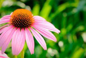 Equinacea purpura y equinacea angustifolia