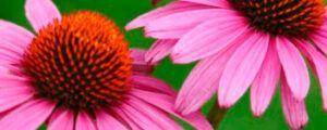 Información Plantas Medicinales