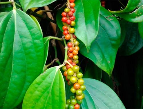 Piperine – La Piperina es un alcaloide
