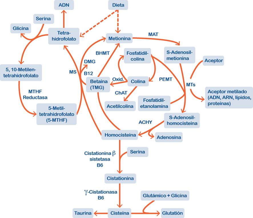 SAMe: Visión conjunta del ciclo del folato, metabolismo de la homocisteína y rutas relacionadas