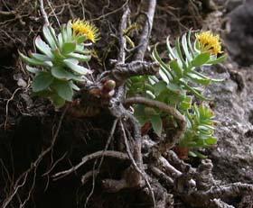 Rhodiola: la planta